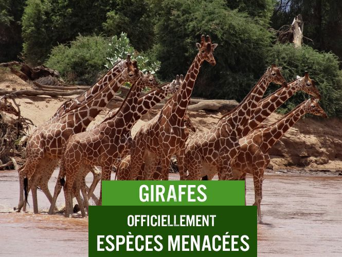 push_blog_saiga_girafes