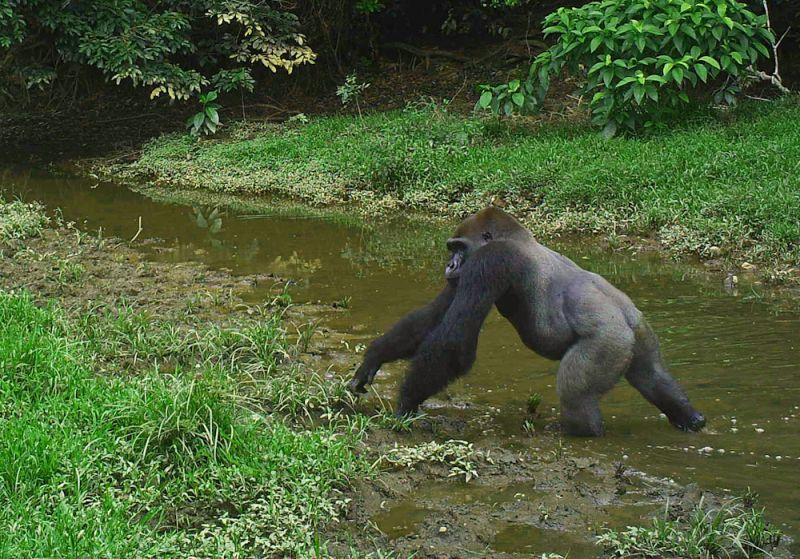 voyage gorille